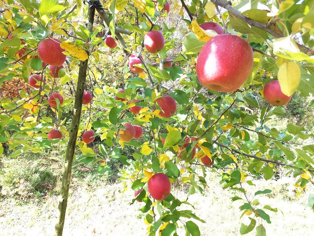 りんごの斜形_1