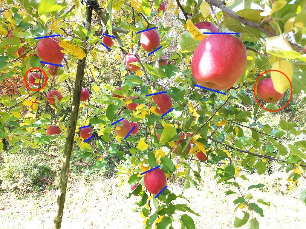 りんごの斜形_2